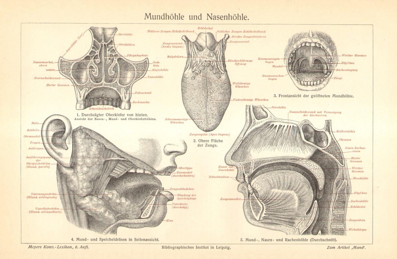 1904-Anatomie der Mundhöhle und Nasenhöhle Original antiken