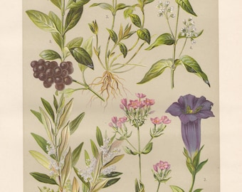 Vintage lithograph of wild privet, olive, common centaury, stemless gentian, lesser periwinkle, white swallow-wort from 1911