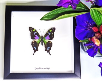 Taxidermy wall decor real purple butterfly in shadowbox Graphium weiskei BAGW
