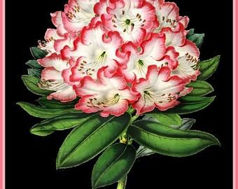 antique french illustration botanical print pink rhododendron DIGITAL DOWNLOAD