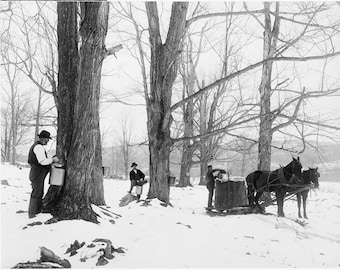 Vermont Winter Scene Maple Sugar Tapping Trees for Syrup from 1906 Photo Snow Bare Branches Trees Vintage 1900 Black and White Photography