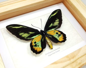 FREE SHIPPING Framed Ornithoptera Rothschildi Rothschild's Birdwing Butterfly A1