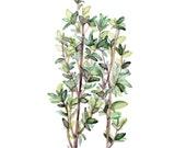 Thyme Herb Painting - Pri...