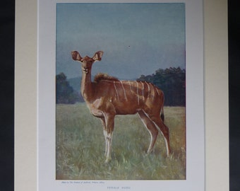 1901 Antique Natural History Print of a Female Kudu, African Antelope Decor, Available Framed, Africa Art, Lesser Wall Art, Greater Safari