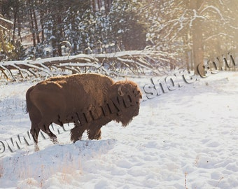Buffalo Wildlife Fine Art Photo Print