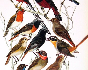 Bird Print - Redstart, Bush Robin, Robin Chat, Nightingale, Forktail - 1973 Vintage Bird Print - 2 Sided Page from Encyclopedia
