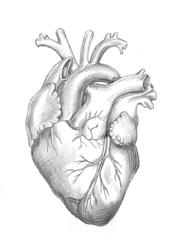 Anatomy Heart Original Unframed Pencil Drawing