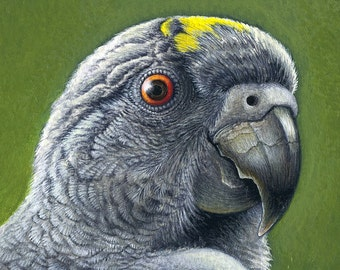 Meyer's Parrot - Print