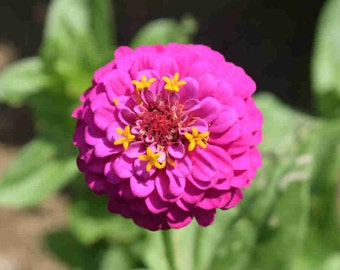 Coloring Pages Zinnia : Coloring page. sd209