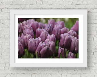 Lavender Tulips Fine Art Photography