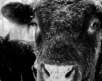 Black and White Photography, Animal, Photography, Rural, BOGO SALE, Fine Art Print, 8x12 (Bullseye)