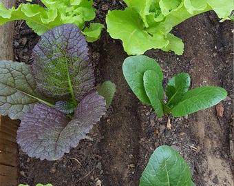 Mixed Asian Green Seeds. Cabbage, Mustard, Bok Choy, Mizuna and Arugula. Asian Salad Green Mix