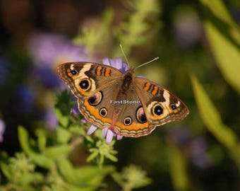 Buckeye butterfly, butterflies, insects, photography, wall art, home decor, print, photo, nature photography, free shipping, willife, metal