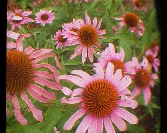 INSTANT DOWNLOAD Cone flowers, ttv photos, print from home