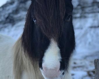 Icelandic Horse Portrait in Reykjavik