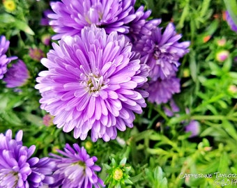 Close Up Photograph of Purple Flowers