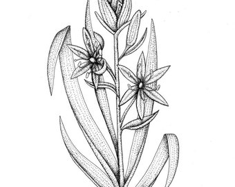 Camas Flower Orignal Drawing