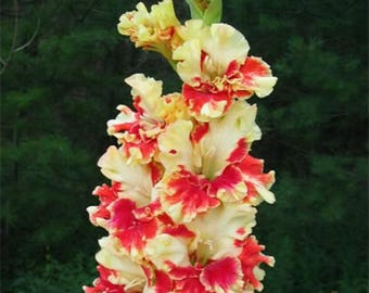 Gladiolus Bulbs, (not seeds) Perennial Flower 5 Bulbs (item No: 23)