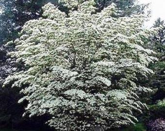 10 Chinese Dogwood Tree Seeds, Cornus kousa chinensis