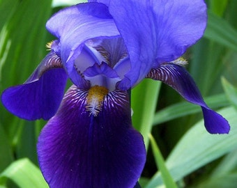 Purple Bearded Iris #3 11x14 Matte-READY TO SHIP