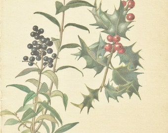Flower Print - Privet Berry - Vintage Botanical Book Plate Print - Holly Berry - Diary of Edwardian Lady - Edith Holden - 1906
