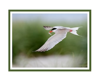 Common Tern and fish note card package