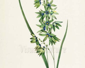 Corn Lily Flower Art Print, Botanical Art Print, Flower Wall Art,Flower Print,Floral Print,Redoute Art,blue green,Turquoise Ixia viridiflora