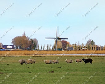 Spring Windmill Uitgeest Noord Holland Netherlands Sheep Grazing Pasture Winter Field Farm Dutch Countryside Art Photography Photo Print
