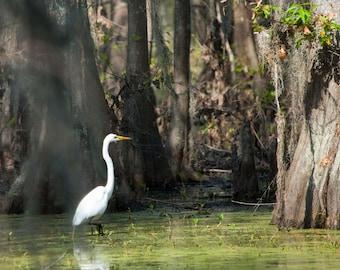 Black Bayou Egret