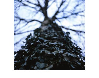 Tree, Ivy, Suffolk Signed Fine Art Print / Tree Photography / Ivy Detail Photo