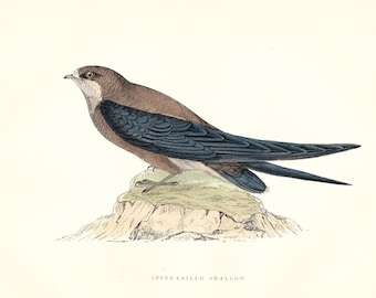 Spine Tailed Swallow . Antique Bird Print . original art . hand coloured woodblock . dated 1893 old vintage ornithology plate