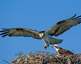 Osprey Chick - Mom coming home