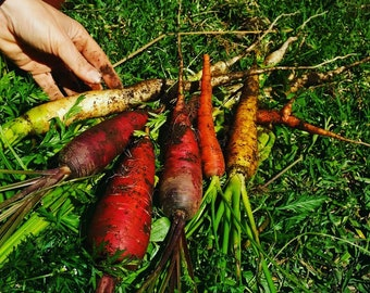 300 Mix Colors Organic Carrot Seeds, Rainbow Carrot Seeds, Heirloom Seeds, Blend of Seeds, Grown Organically, Variety of Colors