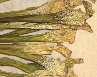 Dried Sarracenia | Pitcher Plant | Fly Catcher Plant | Dried Plants