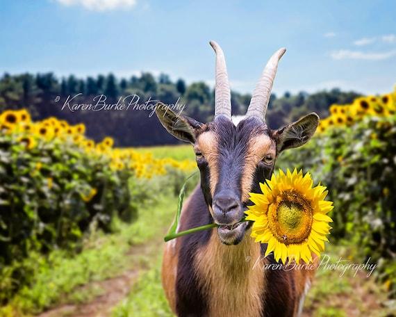 Funny Goat Print Sunflower Field Whimsical Goat Art Goat