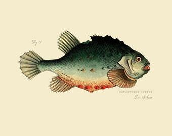 """Vintage Fish """"Der Sechase"""" Druck 8 x 10 P184"""