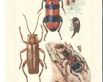 4 - ORIGINAL ART 1950's Bug Art, Insect Art, Offset Lithographs  by  Erich Cramer,  German Beetles Realism Images #11