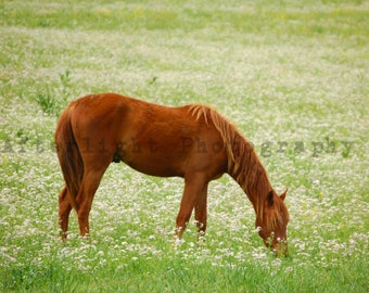 Colt Grazing hillside, Horse Photograph,