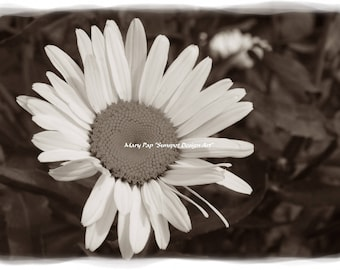 white daisy, white flowers, sepia photography, sepia toned print, nature print, plant pfotograph