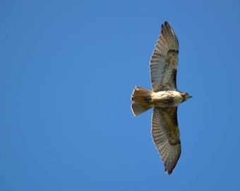 Red-tailed Hawk -- Handmade Greeting Card // Massachusetts Birds // Bird Photography // 5 x 7 Card // Hawk Photo Card // Cambridge MA
