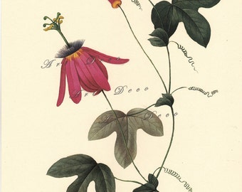 passion flower botanical print by Pierre Redoute, printable digital download no. 1531