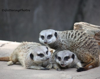 Meerkat, Wildlife, Africa, Louisville Zoo, Louisville, Kentucky, Fine Art Photograph, Wildlife Photography, 8 x 10, Glossy, Kentucky Art