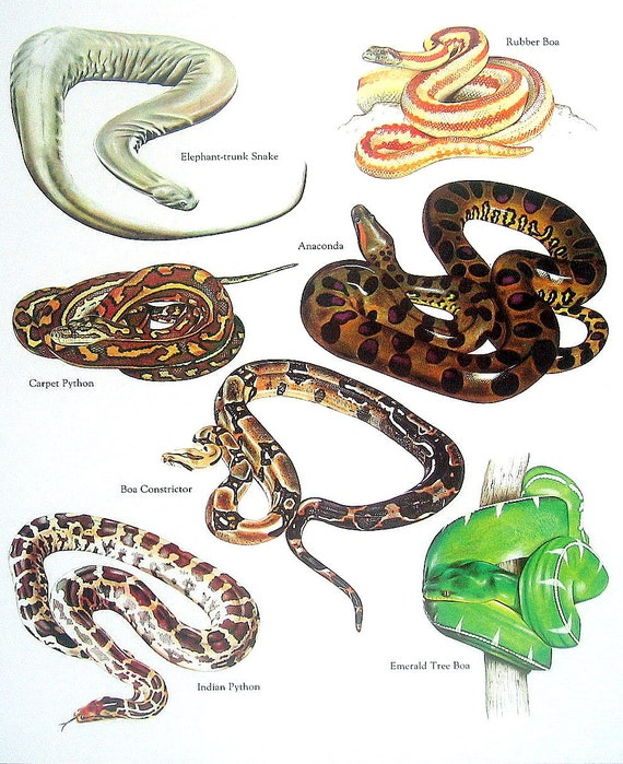 Snakes Rubber Boa Anaconda Carpet Python Boa Constrictor