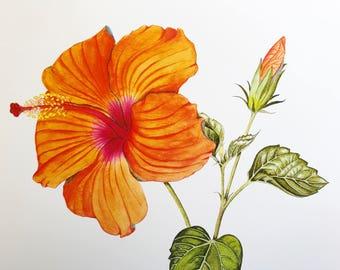 Hibiscus Print - Botanical Illustration, Botanical Lithographic print