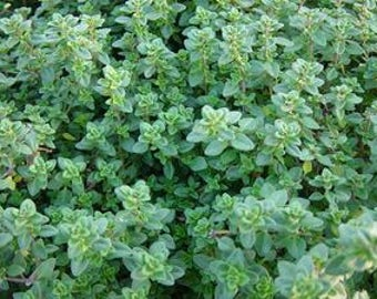 Lemon Thyme Plant, Thymus Citriodorus Plant, Culinary Heb Plants, Aromatherapy herb plants