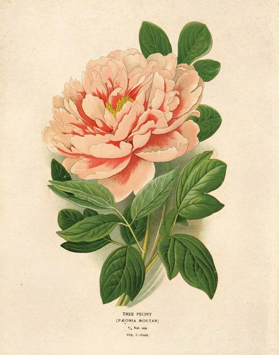 Vintage Peony Illustration Vintage Flower Botanic...