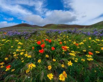 Spring Awakens - Landscape photo taken in Gorman, California of the wildflowers blooming.