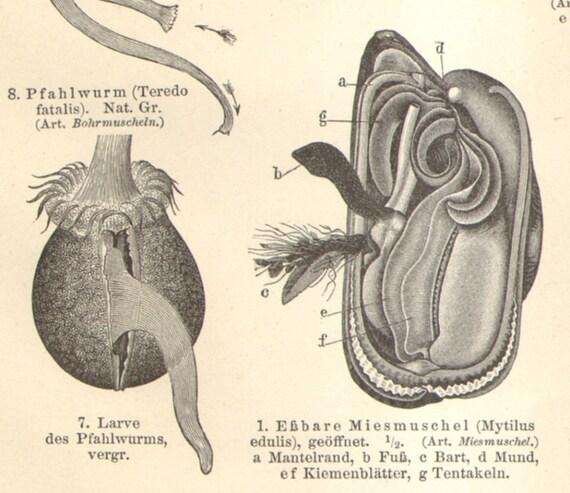 1897 Marine Shells Molluscs Blue Mussel Duck Mussel Giant