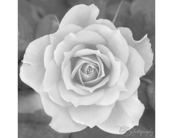Black and white Rose photography print - fine art garden nature macro wall photo decoration grey soft