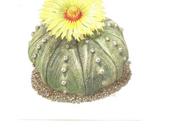 1954 Vintage cactus illustration Astrophytum Asterias art Botanical art Cactus print  Cactus art Plant art Cactuses  Botanical poster